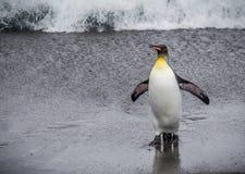 Pinguino di re che ritorna dal mare Fotografia Stock Libera da Diritti