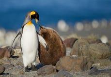 Pinguino di re con i giovani uno Fotografie Stock Libere da Diritti