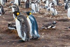 Pinguino di re del pulcino e dell'adulto Immagine Stock