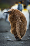 Pinguino di re del ragazzo della stoppa addormentato sulla spiaggia fotografie stock