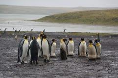 Pinguino di re nella pioggia Immagini Stock Libere da Diritti