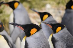 Pinguino di re triplo fotografie stock libere da diritti