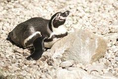 Pinguino di rilassamento Fotografia Stock