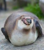 Pinguino di riposo Fotografia Stock