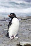 Pinguino di Rockhhopper Fotografia Stock Libera da Diritti
