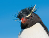 Pinguino di Rockhopper Immagine Stock