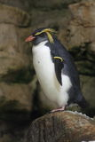 Pinguino di Rockhopper Immagine Stock