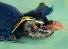 Pinguino di Rockhopper Immagini Stock