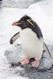 Pinguino di Rockhopper Fotografie Stock