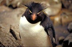 Pinguino di Rockhopper fotografia stock libera da diritti