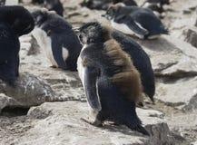 Pinguino di Rockhopper del bambino, Falkland Islands Immagine Stock