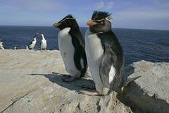 Pinguino di Rockhopper, eudyptes chrysocome Immagine Stock Libera da Diritti