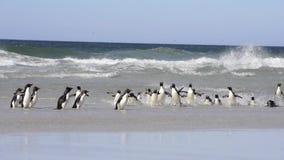 Pinguino di Rockhopper in Falkland Islands stock footage