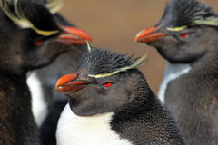 Pinguino di Rockhopper, Falkland Islands Immagini Stock Libere da Diritti