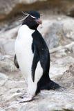 Pinguino di Rockhopper - isole Falkalnd Immagini Stock Libere da Diritti