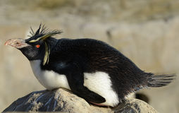 Pinguino di Rockhopper sulla roccia Immagini Stock