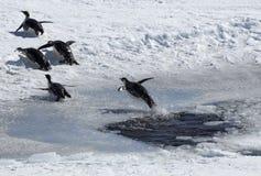 Pinguino di salto Fotografia Stock