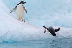 Pinguino di salto Un Adelie & un x28; Adélie& x29; il pinguino si tuffa nel mare da un iceberg immagini stock