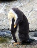 Pinguino di sonno Fotografia Stock Libera da Diritti