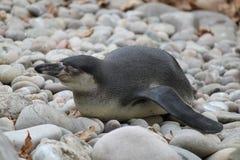 Pinguino di sonno Immagini Stock