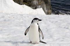 Pinguino di sottogola Immagini Stock