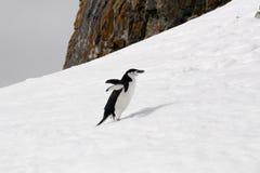 Pinguino di sottogola Fotografie Stock