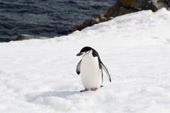 Pinguino di sottogola Fotografia Stock Libera da Diritti