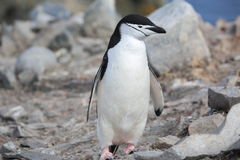 Pinguino di sottogola in Antartide Immagine Stock Libera da Diritti
