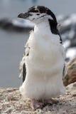 Pinguino di sottogola o sottogola capace di mudare Fotografie Stock Libere da Diritti