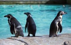Pinguino di tre Humboldt Immagini Stock Libere da Diritti