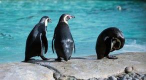 Pinguino di tre Humboldt Immagini Stock