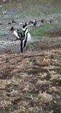 Pinguino di urlo Fotografia Stock