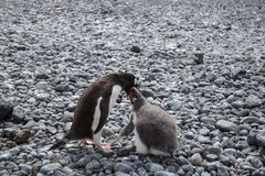 Pinguino e pulcino di Gentoo in Antartide Immagine Stock Libera da Diritti