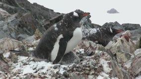 Pinguino femminile di Gentoo che si siede sul nido in primavera quando c'è neve bagnata stock footage