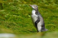 pinguino Giallo-eyed fotografia stock
