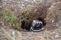 Pinguino il nido Immagini Stock