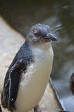 Pinguino leggiadramente Immagini Stock Libere da Diritti
