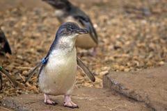 Pinguino leggiadramente Immagini Stock