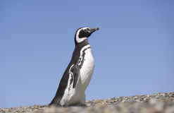 Pinguino Magellan fotografia stock