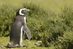Pinguino Magellan fotografia stock libera da diritti