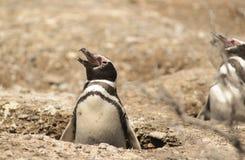 Pinguino Magellan immagine stock