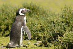 Pinguino Magellan immagine stock libera da diritti