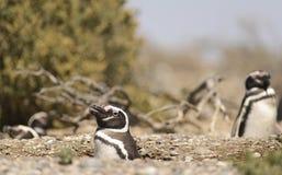 Pinguino Magellan fotografie stock