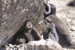 Pinguino Magellan immagini stock libere da diritti