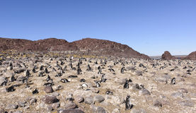 Pinguino Magellan fotografie stock libere da diritti