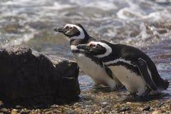 Pinguino Magellan immagini stock