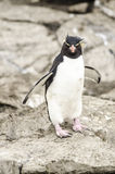 Pinguino Malvinas di Rockhopper  Fotografia Stock