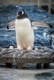 Pinguino nel suo nido dello zoo Fotografie Stock Libere da Diritti