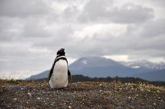 Pinguino nella Patagonia - Argentina Fotografia Stock