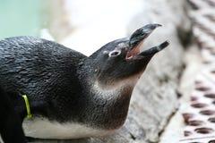 Pinguino nella prigionia Fotografia Stock Libera da Diritti